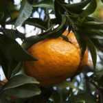 mandarino-campi-flegrei